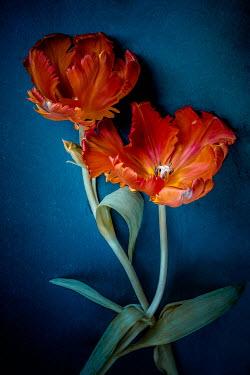 Magdalena Wasiczek close up of orange tulips