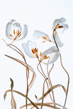 Magdalena Wasiczek withered white tulips