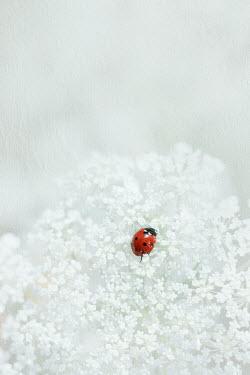 Magdalena Wasiczek White flower and ladybug
