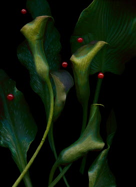 Magdalena Wasiczek Green leaves and callas on black background