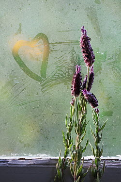 Alison Archinuk lavender beside a heart drawn in moisture on a sunlit window