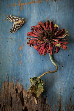 Alison Archinuk dead moth beside a dried flower on a table