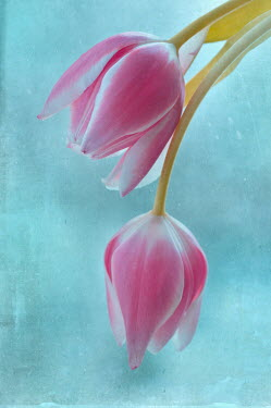 Magdalena Wasiczek close up of two pink tulips