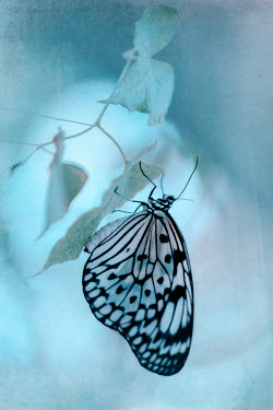 Magdalena Wasiczek Black and white tropical butterfly on blue flower
