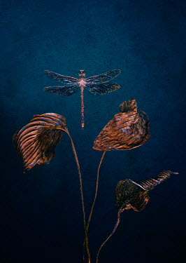 Magdalena Wasiczek dragonfly and wilted leaves on dark background