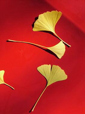 Giovan Battista D'Achille Ginkgo leaves on red background