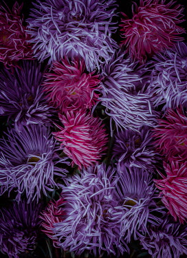 Magdalena Wasiczek close up of asters flowers
