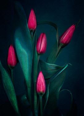 Magdalena Wasiczek close up of red tulips