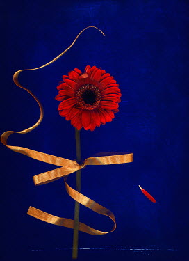 Magdalena Wasiczek close up of red gerbera flower with golden ribbon