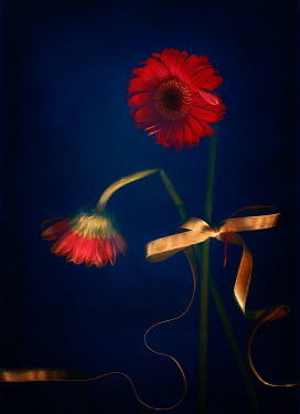 Magdalena Wasiczek close up of two red flowers of gerbera with golden ribbon