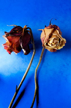Ute Klaphake CLOSE UP OF TWO WITHERED ROSES Flowers