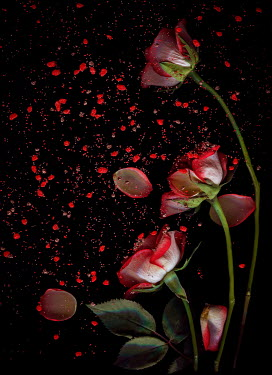 Magdalena Wasiczek red white roses with scattered petals and stones Flowers