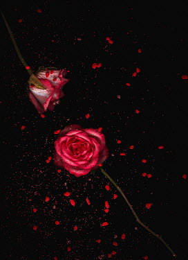 Magdalena Wasiczek red roses with scattered petals and stones Flowers