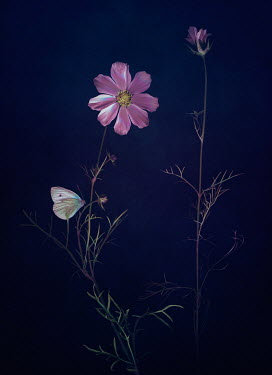 Magdalena Wasiczek WHITE BUTTERFLY ON PINK FLOWER Insects