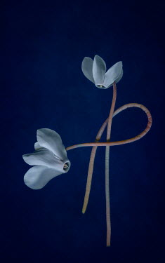 Magdalena Wasiczek two white flowers in shadow Flowers