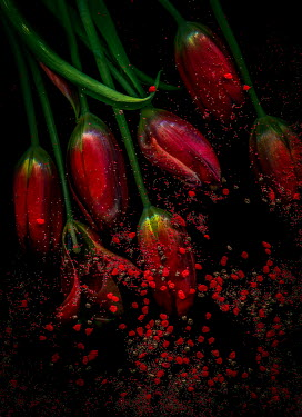 Magdalena Wasiczek red tulips with particles Flowers