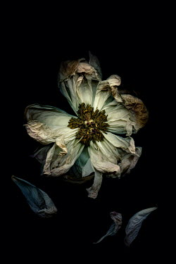 Amy Weiss CLOSE UP OF WITHERED FLOWER Flowers