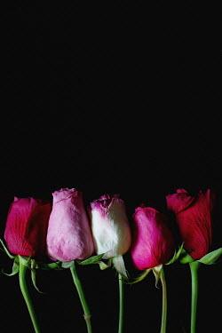 Jaime Brandel CLOSE UP OF ROW OF PINK TULIPS Flowers