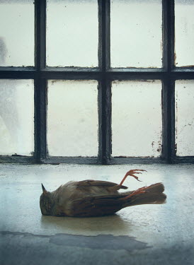 Mark Owen DEAD BIRD LYING BY OLD WINDOW Birds