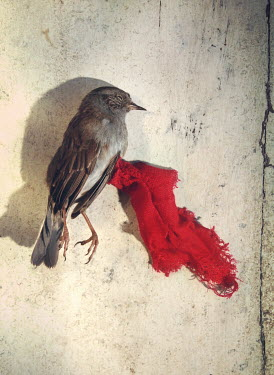 Mark Owen DEAD BIRD WITH PIECE OF RED CLOTH Birds