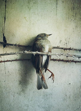 Mark Owen DEAD BIRD TRAPPED IN THORNY BRANCHES Birds