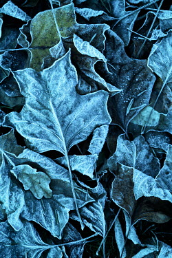 Magdalena Russocka frosty leaves from above