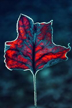 Magdalena Russocka frosty red leaf