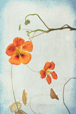 Magdalena Wasiczek CLOSE UP OF ORANGE NASTURTIUMS Flowers/Plants