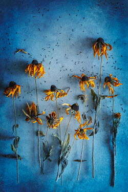 Magdalena Wasiczek dried yellow flowers on blue background Flowers