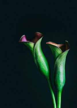 Magdalena Wasiczek CLOSE UP OF TWO CALLA LILIES Flowers