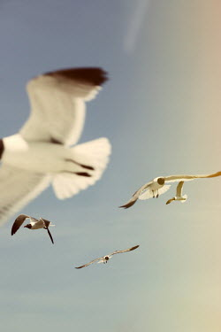 Alicia Bock Brown-headed gulls flying
