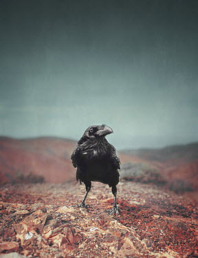 Anna Buczek Crow on rock
