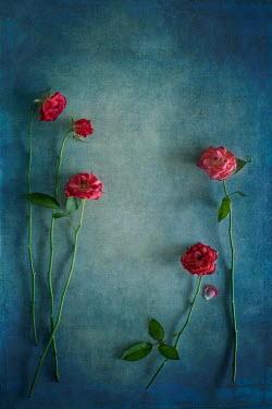 Magdalena Wasiczek five roses on blue background