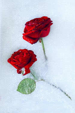 Magdalena Wasiczek close up of two red roses lying on the snow