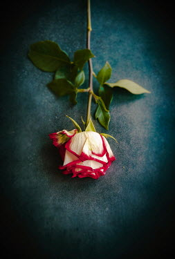 Jane Morley RED AND WHITE ROSE FROM ABOVE Flowers