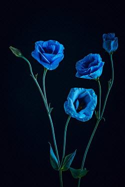 Magdalena Wasiczek close up of blue roses