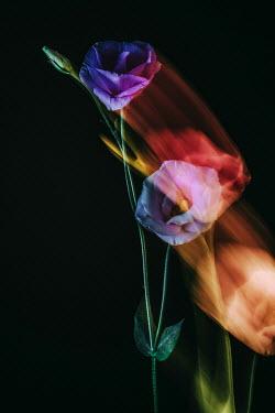 Magdalena Wasiczek roses