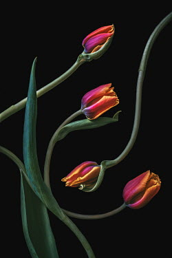 Magdalena Wasiczek close up of four tulips