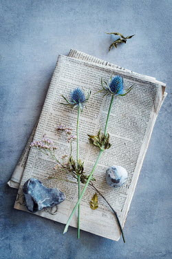 Magdalena Wasiczek wild blue flowers of thistles and smal stones lying on newspapers