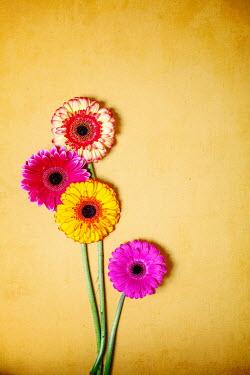 Miguel Sobreira Gerbera flowers on yellow background