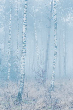 Ysbrand Cosijn Birch trees in foggy forest