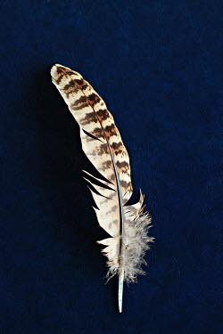 Jasenka Arbanas Feather on blue background