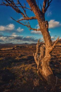 Beata Banach Bare tree in desert