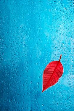 Magdalena Wasiczek Close up of red leaf on wet glass