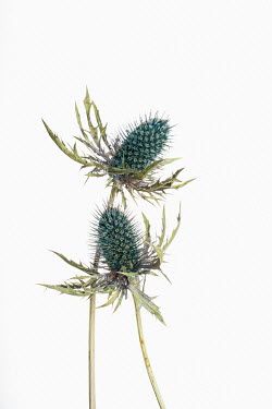Magdalena Wasiczek pair of thistles on a white background