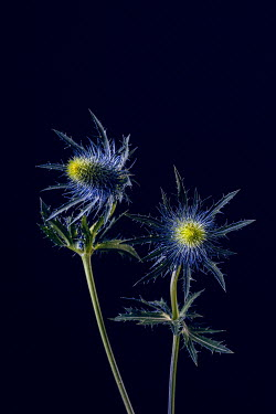 Magdalena Wasiczek Close up of thistles on dark blue background