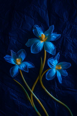 Magdalena Wasiczek Close up of blue tulips