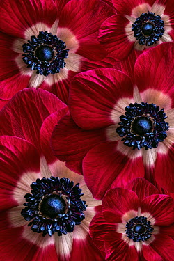Magdalena Wasiczek Close up of red anemone flowers