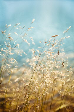 Svetoslava Madarova CLOSE UP OF DELICATE GRASS IN SUNLIGHT Flowers/Plants