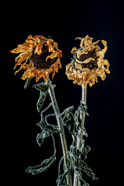 Magdalena Wasiczek A pair of withered sunflowers Flowers
